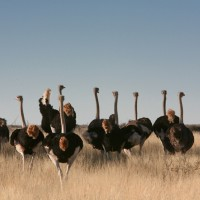 Namibia, Kalahari Anib Lodge at Mariental - Ostriches